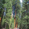The Trees in the parking area are impressive. They are the Sequoiadendron giganteum, commonly known as the Giant Seqoia and may exceed 3,000 years. They are not the oldest living things. This honor is left to the ancient bristlecone pine, Pinus aristata. Some of which are more than 4,600 years old!