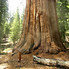 The Mariposa Trea has a height of 247 feet and a  diameter 17.4 feet at 10 feet above the ground. This tree and the grove were named for the famous gold rush county.