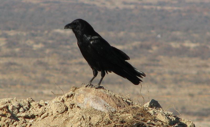 Common Raven - Borrego Springs, CA