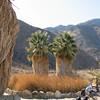 California Fan Palms - - Anza-Borrego Desert State Park   2-14-07