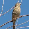 Female - Anza-Borrego Desert State Park   2-14-07