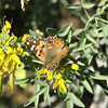 Butterfly on Loop Trail at Anza-Borrego Desert State Park   2-14-07