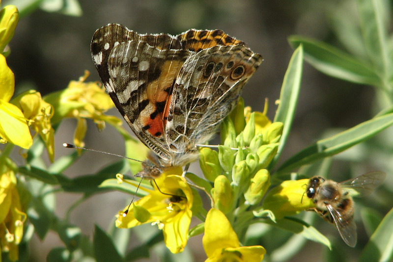 Butterfly and Bee on Flowers - Anza-Borrego Desert State Park   2-14-07