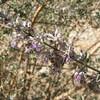 Desert Lavender - On the Trail - Anza-Borrego Desert State Park   2-14-07
