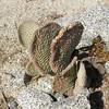Unusual Cactus - Anza-Borrego Desert State Park   2-14-07