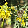 Butterfly and Flowers - Anza-Borrego Desert State Park   2-14-07