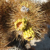 Close-up of Cholla - Anza-Borrego Desert State Park   2-14-07