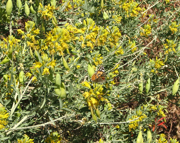 Butterfly on Bush With Seed Pods - Anza-Borrego Desert State Park   2-14-07