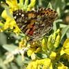 Butterfly - Anza-Borrego Desert State Park   2-14-07