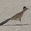 Greater Roadrunner at Visitor's Center - Anza-Borrego Desert State Park   2-14-07