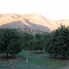 Orange Trees Planted Similar to Vineyards in VA  2-14-07