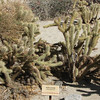 Wolf's Cholla - Garden Area Around Visitor's Center - Anza-Borrego Desert State Park   2-14-07
