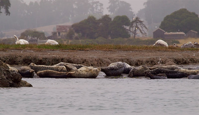 Harbor Seals and White Pelicans Elkhorn Slough Copyright 2010 Neil Stahl