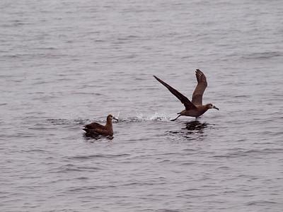 Black-footed Albatross Monterey Bay Copyright 2010 Neil Stahl