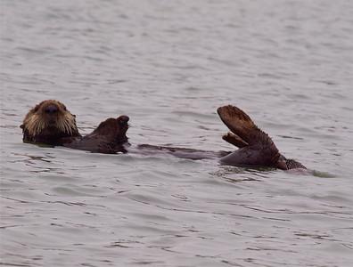 Sea Otter Elkhorn Slough Copyright 2010 Neil Stahl