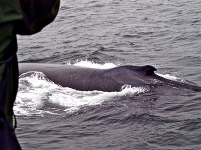 Humbpack Whale Monterey Bay Copyright 2010 Neil Stahl