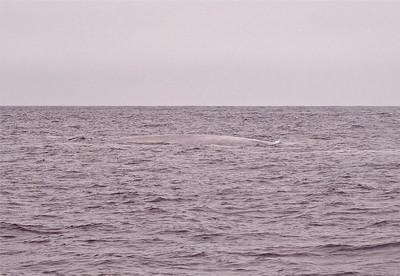 Blue whale Monterey Bay Copyright 2010 Neil Stahl