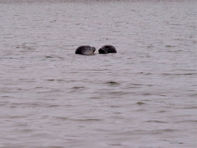 Harbor Seals Elkhorn Slough Copyright 2010 Neil Stahl
