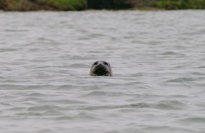 Harbor Seal Elkhorn Slough Copyright 2010 Neil Stahl