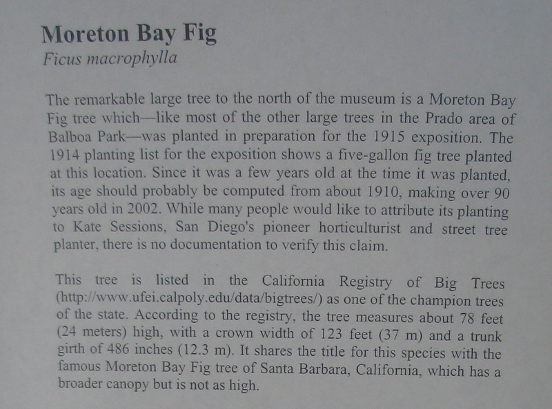 Moreton Bay Fig - Part One - Outside of Natural History Museum - Balboa Park - San Diego