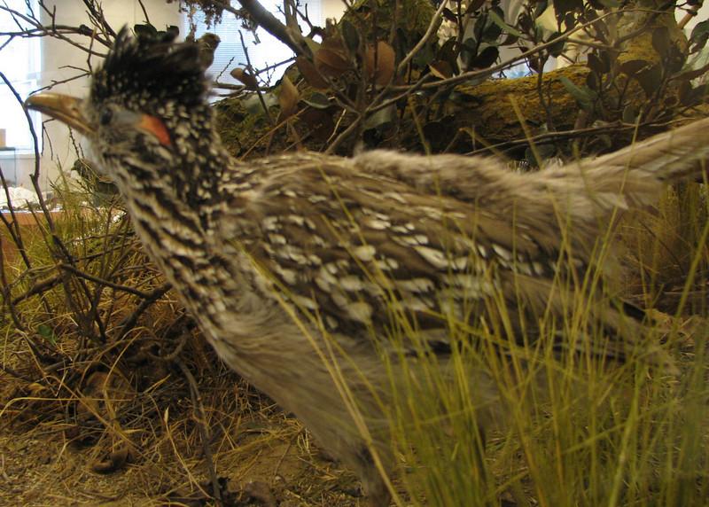 Roadrunner at Natural History Museum