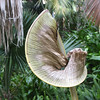 Unusual Shape of Dying Palm Leaf - Scenes at Balboa Park, San Diego 2-13-07