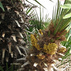 Flowering Palm - Scenes at Balboa Park, San Diego 2-13-07