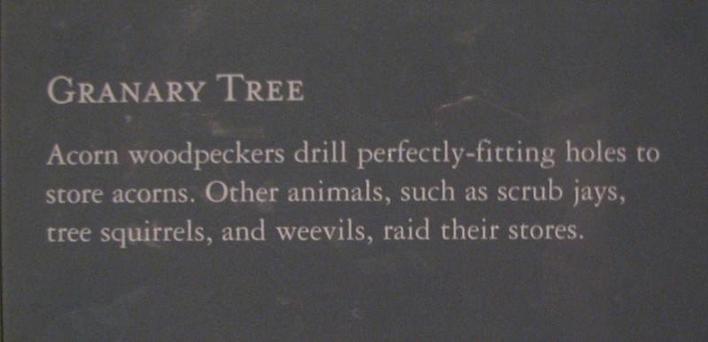 Acorn Woodpeckers Granary Tree - Natural History Museum - Balboa Park - San Diego