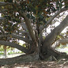 Huge 90-Year Old Fig Tree