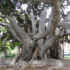 Under the Fig Tree - Balboa Park