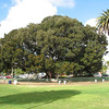 Incredible and Huge Fig Tree in Balboa Park, San Diego - Look at the Size of the Cars Compared to It