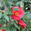 Close-up of Camellias - Scenes at Balboa Park, San Diego 2-13-07