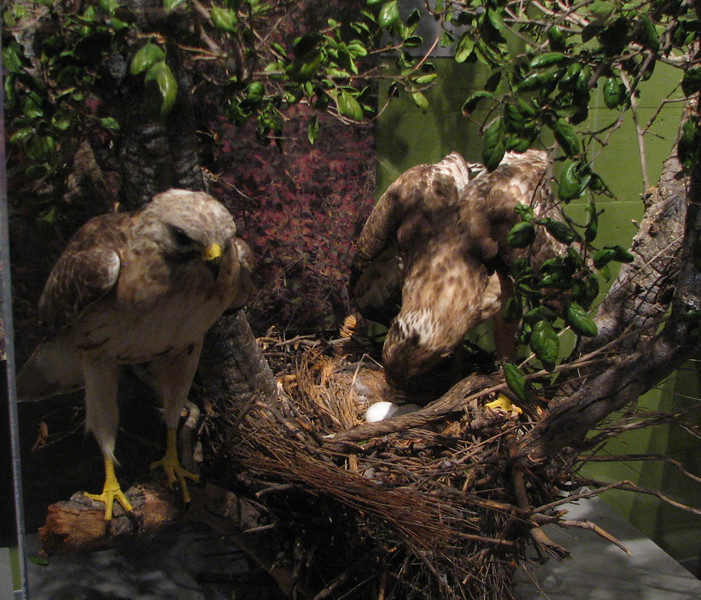 Western Red-tailed Hawk - Natural History Museum - Balboa Park - San Diego