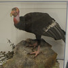 California Condor - Natural History Museum -