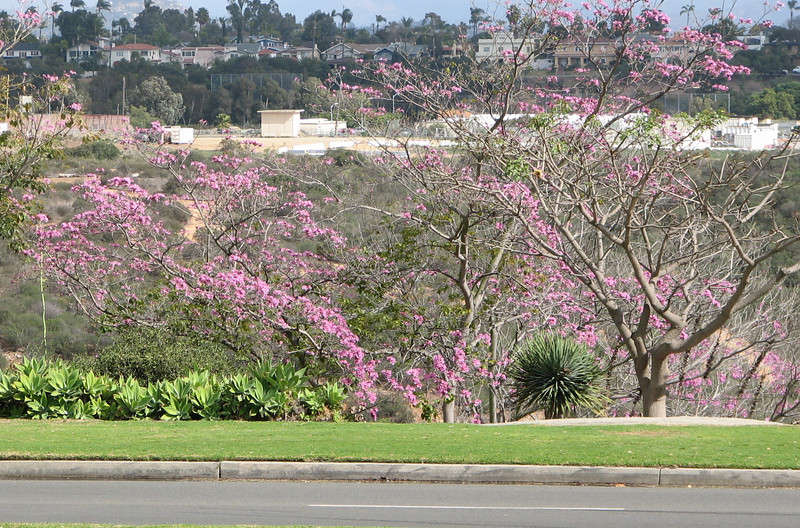 Spring Blossums Across Street From Natural History Museum - Balboa Park 2-13-07