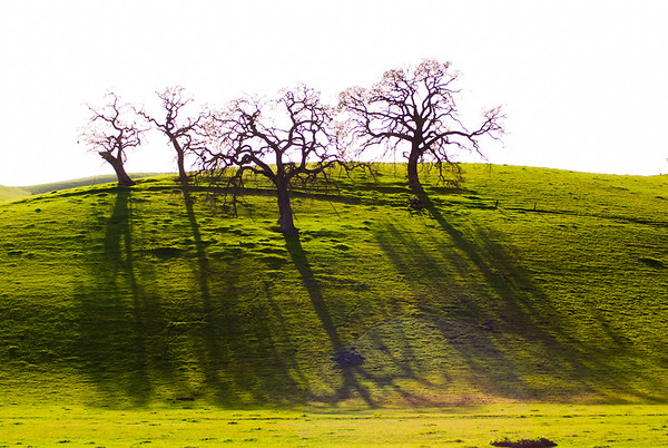 California Oaks in Late Winter Light