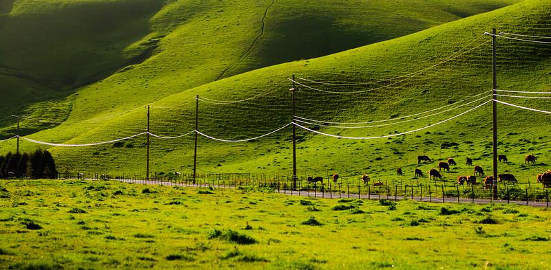 Happy Grass-fed California Cows