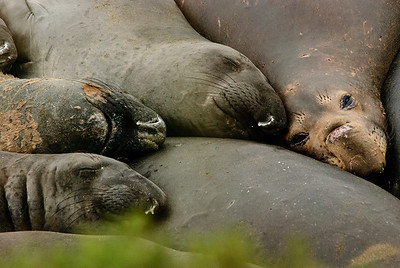 Elephant Seals during breeding