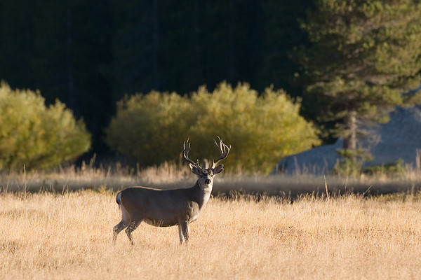 Local resident (mule deer) of Tuolomme meadow.