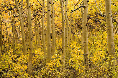 Aspen grove near North Lake.