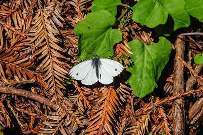 Cabbage White (Pieris [Artogeia} rapae