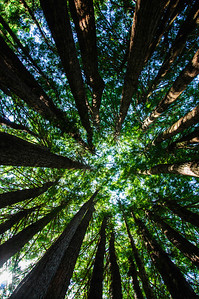 I couldn't resist one more of this kind of shot in the majestic redwood forest.