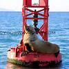 3328_Steller Sea Lion_1-2-14.JPG