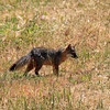 2019-04-17_77_Santa Cruz Is_Prisoners_Fox.JPG<br /> Prisoners Landing, Santa Cruz Island, Channel Islands