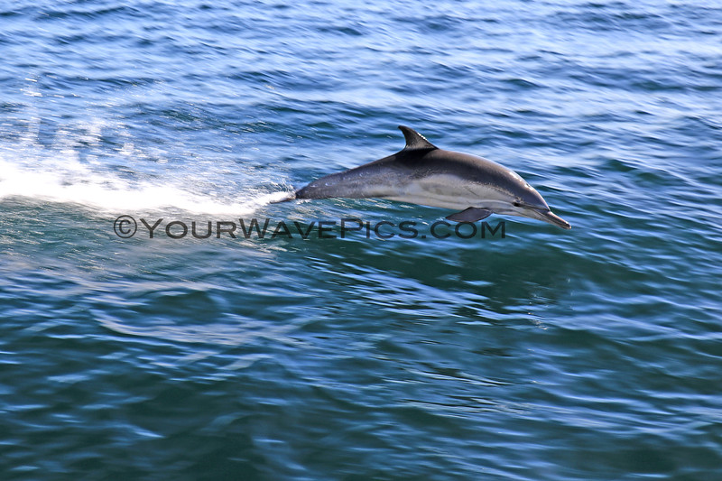 2019-04-17_Channel Islands_Dolphin_7.JPG<br /> Scorpion Landing, Santa Cruz Island, Channel Islands