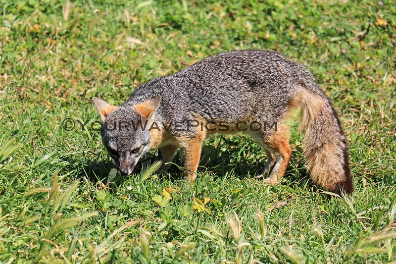 2019-04-17_Santa Cruz Is_Scorpion_Fox_51.JPG<br /> Scorpion Landing, Santa Cruz Island, Channel Islands