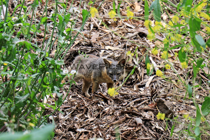2019-06-23_607_Channel Islands_Santa Cruz Is_Island Fox.JPG
