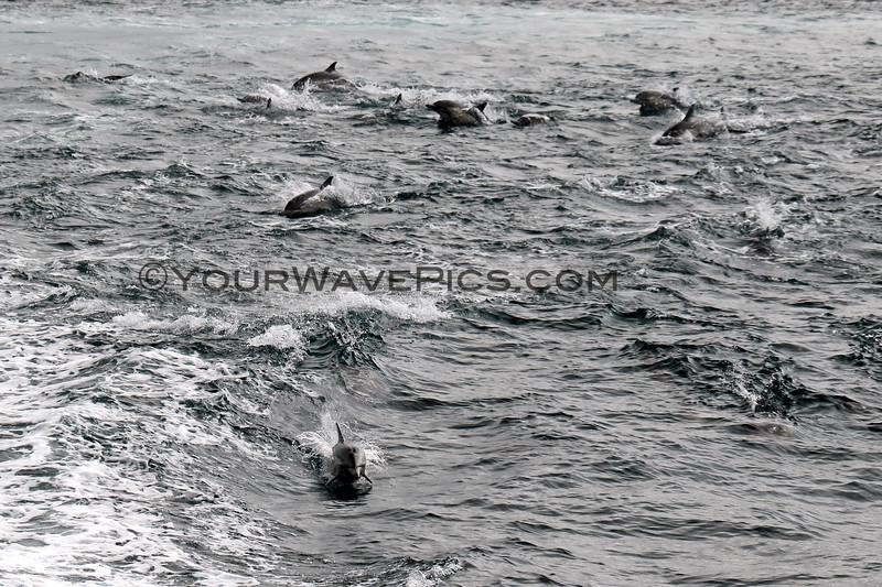 2019-06-23_691_Channel Islands_Dolphin Stampede.JPG