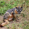 2019-06-23_665_Channel Islands_Santa Cruz Is_Scorpion_Island Fox.JPG