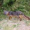 2019-06-23_667_Channel Islands_Santa Cruz Is_Scorpion_Island Fox.JPG